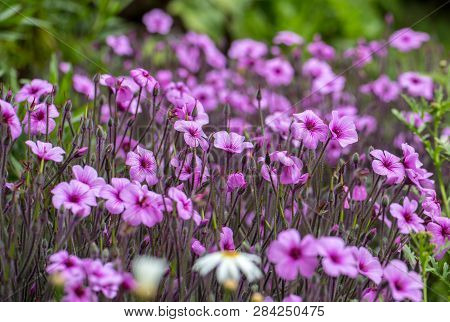 Matthiola Maderensis Is A Flowering Plant Species Of Stock In The Brassicaceae Family, Native And En