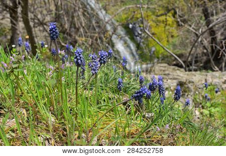 Muscari Neglectum Flowers In Forest In Spring Time