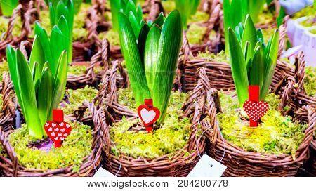 Arboretum, Planting, Hyacinth, Indoors, Isolated, Leaves, Lush, Nobody, Plant, Plant Nursery, Plants