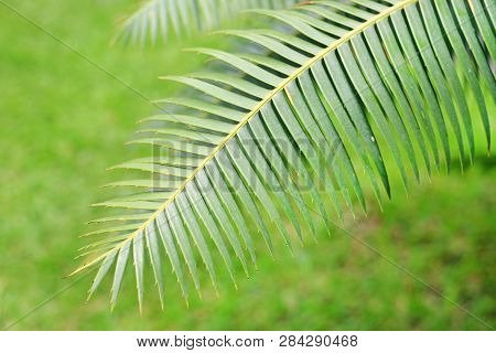 Green Leaves Of Gum Palm Or Giant Dioon (dioon Spinulosum Dyer) The Tropical Cycad Palm Plant On Gre