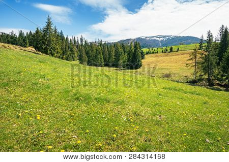 Early Springtime Countryside In Mountains. Pine Trees On A Grassy Meadow. Beautiful Carpathian Lands