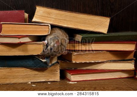 Close-up The Rat (rattus Norvegicus) Gnaws Spine Of The Book On Pile Of Old Books In The Library. Co