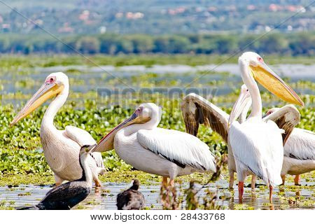 Some Pelicanos in the Lake Naivasha