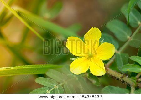 Yellow Flowers On The Beach. (tribulus Terrestris Linn.)