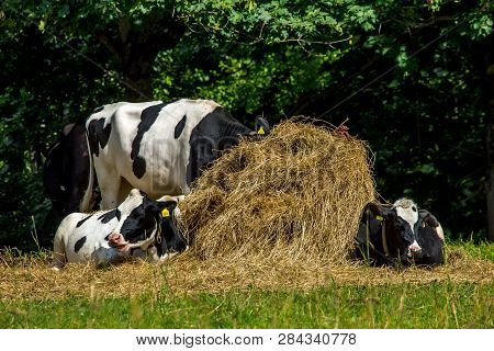 Cows Resting In Stack Of Hay. Dairy Cow Pasture In Green Meadow In Latvia. Herd Of Cows Grazing In M