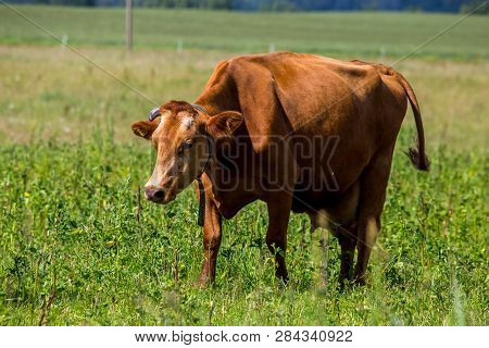 Dairy Cow Pasture In Green Meadow In Latvia. Herd Of Cows Grazing In Meadow. Cows In Meadow In Sprin