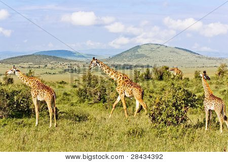 The Giraffes Family