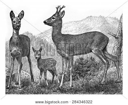 The deer, vintage engraved illustration. From Deutch Vogel Teaching in Zoology.