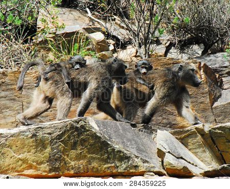 Wild mother Baboons walking across a stone cliff while carrying youngsters on their backs.  Photographed while on safari in South Africa. poster