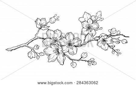 Cherry Flower Blossom, Botanical Art. Spring Almond, Sakura, Apple Tree Branch, Hand Draw Doodle Vec