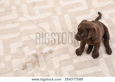 Chocolate Labrador Retriever Puppy And Wet Spot On Carpet. Space For Text