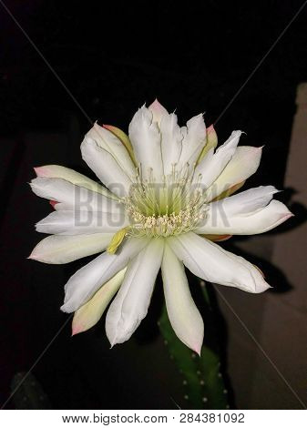 Blooming Thornless Cereus Cactus With Opened White Flower Ready For Pollination Night, Phoenix, Ariz