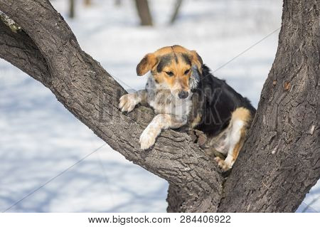 Mixed-breed Female Dog Sitting In The Favorite Place For Resting - On An Apricot Tree In Winter Orch