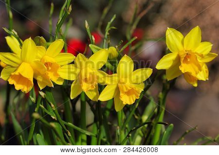 Close-up Of Yellow Narcissus Flowers On The Spring Meadow. Macro Photography Of Nature.