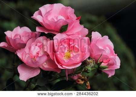 Portrait Of Pastel Pink Rose Flowers In The Summer Garden. Macro Photography Of Nature.