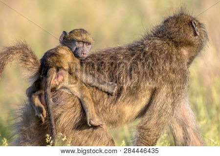 Chacma Baboon (papio Ursinus) Mother With Young Child Riding On Back Looking At Camera In Kruger Nat