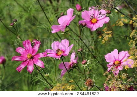 View Of Pink Mexican Aster (garden Cosmos) Flowers In The Summer Garden. Macro Photography Of Nature