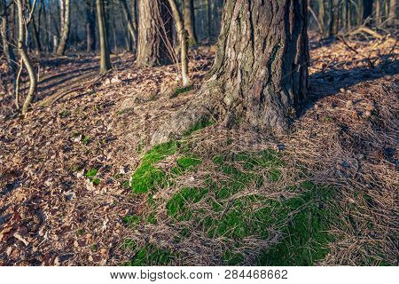 Forest Floor Around A Scots Pine Tree. It Sis A Sunny Day In The Dutch Winter Season.