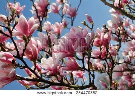 Branch Of Magnolia Tree In The Spring Garden. Macro Photography Of Nature.