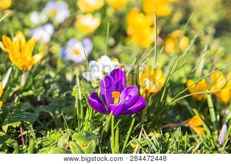 The First Spring Flowers Crocus. Colorful Spring Fragrant Flowers Of Crocus And Green Grass. Spring