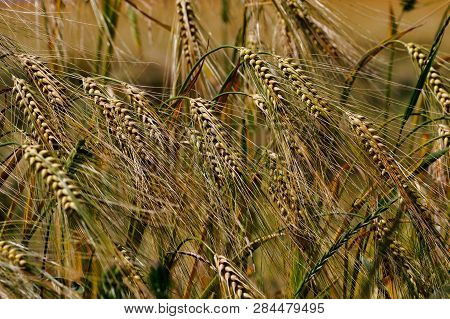 View Of Golden Wheat Field In The Countryside Scenery. Macro Photography Of Nature.