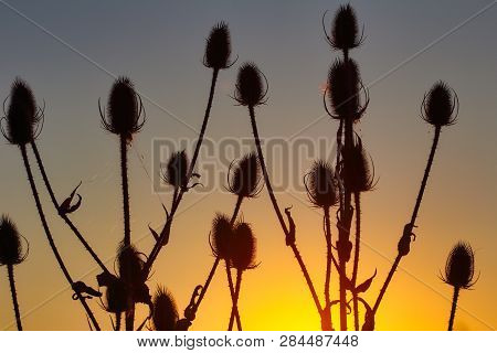 View Of Teasel (dipsacus Fullonum) Plant Silhouette Against Sunset. Village Life. Macro Photography