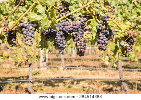Closeup Of Bunches Of Pinot Noir Grapes In Vineyard At Harvest Time