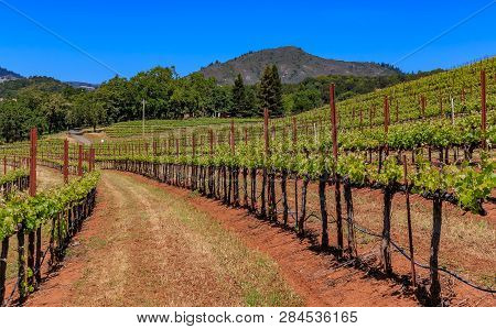 Close Up View Of Grape Vines At A Vineyard In The Spring In Sonoma County, California, Usa