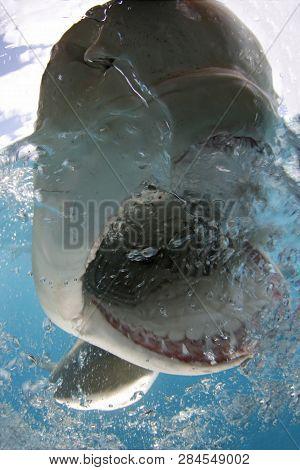 Lemon Shark (negaprion Brevirostris) Split Shot, Open Mouth Showing Teeth At Surface. Tiger Beach, B