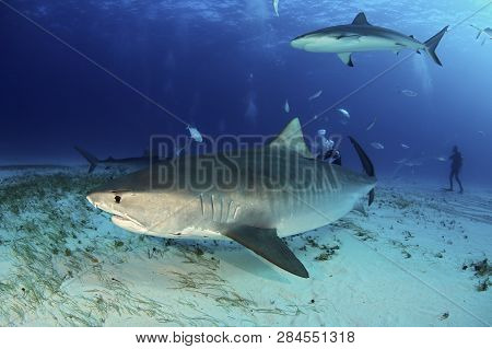 Tiger Shark (galeocerdo Cuvier) Swimming By Closely, With Caribbean Reef Shark Above. Tiger Beach, B