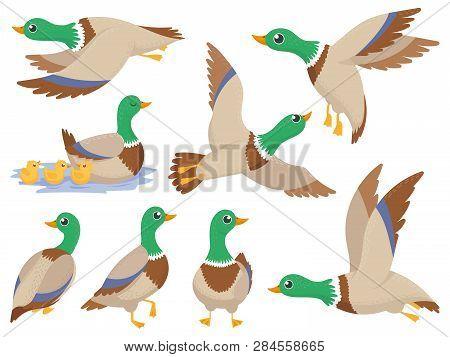Wild Ducks. Mallard Duck, Cute Flying Goose And Green Headed Swimming Canard Isolated Cartoon Vector