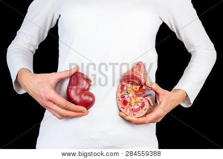 Female Hands Hold Model Of Human Kidney Organ In Front Of White Body At Black