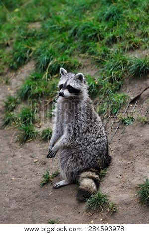 Full Body Of Adult Common Raccoon, Standing And Looking. Photography Of Nature And Wildlife.