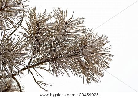 Dry Pine Branch Covered With Frost
