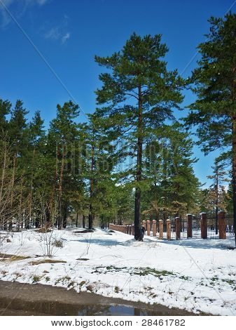 Bright Green Pine Trees And Blue Sky To Which The Freshly Fallen Snow.