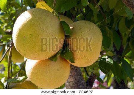 Bunch Of Grapefruit