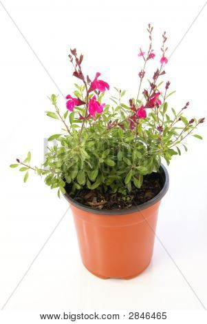 Potted Salvia