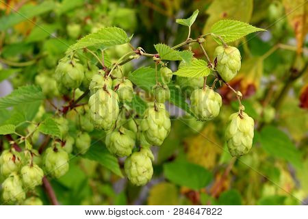 Common Hop Or Humulus Lupulus Or Hops Dioecious Perennial Herbaceous Climbing Flowering Bine Plant W