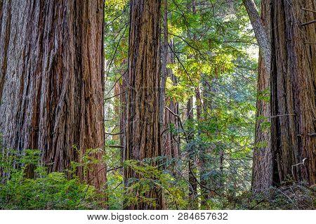 Giant Redwood Forest At Big Basin State Park
