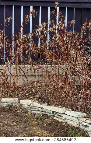 Dormant Rapsberry Canes In The Spring Ready To Be Cut Back