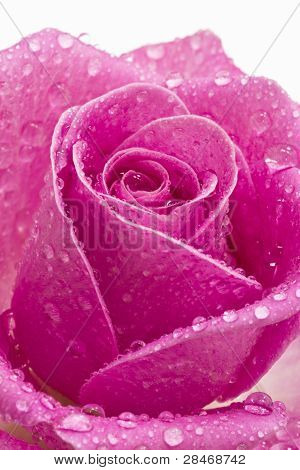 Close Up Of A Pink Rose With Rain Drops