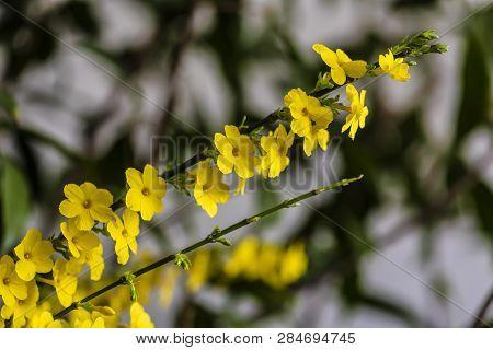 Jasminum Nudiflorum - Plants And Flowers,photographed In Changchun, China