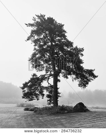 Bare Lonely Tree On Foggy Backyard In Black And White. Lodja, Estonia. An Unique Minimalistic Fine A