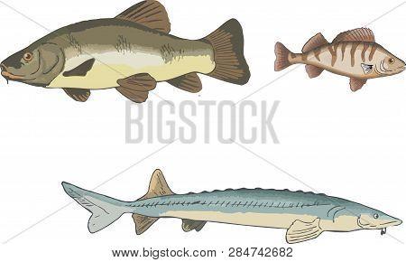 Fresh Water Fish Sturgeon Tench And Perch