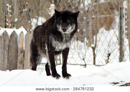 Angry Black Wolf In The Wild In Winter