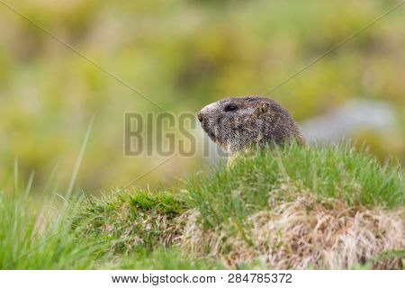 Head Of Natural Marmot (marmota Monax) In The Green Grassland