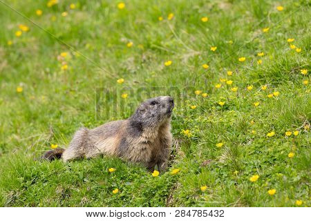 One Natural Marmot (marmota Monax) In Green Grassland, Yellow Flowers