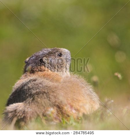 Back View Natural Groundhog Marmot (marmota Monax) In Grassland, Sunshine