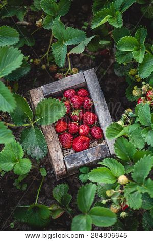 A Crate Of Freshly Picked Strawberries In A Field. A