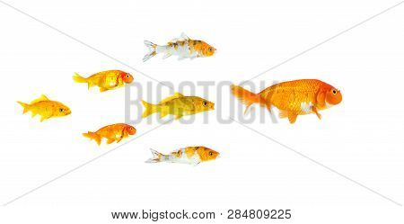 Group Of Small Goldfish And Koi Fish Following The Leader Isolated On White Background Showing Leade